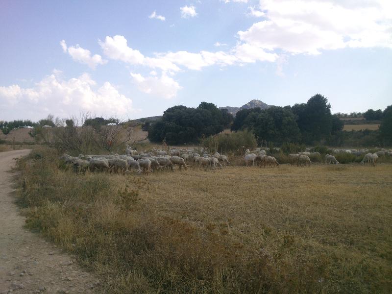Herder met zijn schapen en geiten