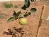 de eerste appel
